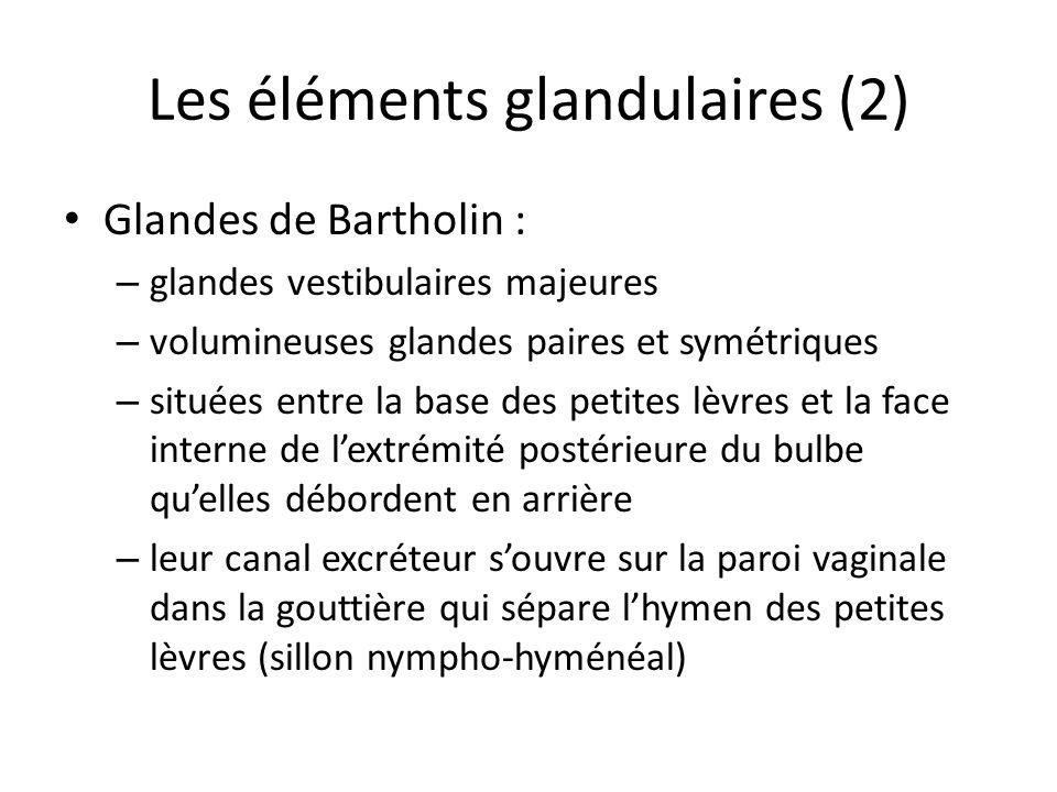 Les éléments glandulaires (2) Glandes de Bartholin : – glandes vestibulaires majeures – volumineuses glandes paires et symétriques – situées entre la base des petites lèvres et la face interne de lextrémité postérieure du bulbe quelles débordent en arrière – leur canal excréteur souvre sur la paroi vaginale dans la gouttière qui sépare lhymen des petites lèvres (sillon nympho-hyménéal)