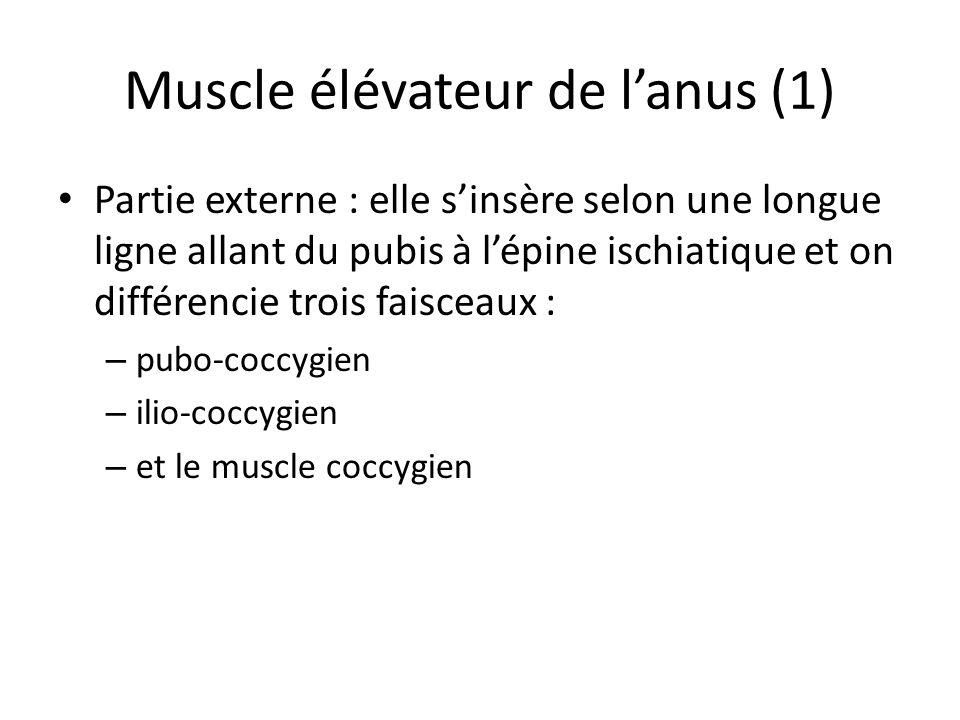 Muscle élévateur de lanus (1) Partie externe : elle sinsère selon une longue ligne allant du pubis à lépine ischiatique et on différencie trois faisceaux : – pubo-coccygien – ilio-coccygien – et le muscle coccygien