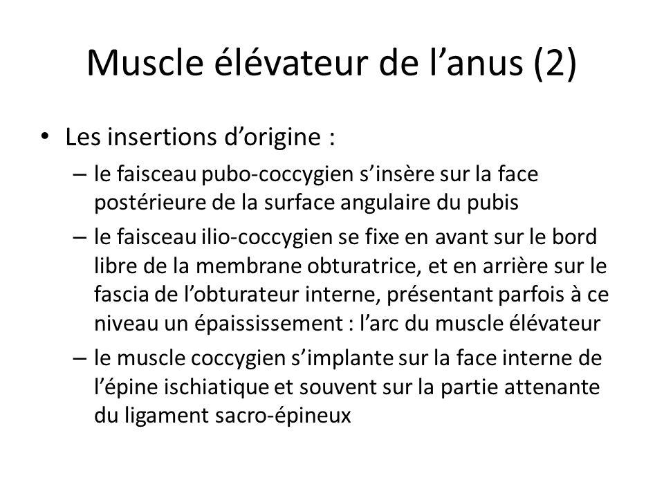 Muscle élévateur de lanus (2) Les insertions dorigine : – le faisceau pubo-coccygien sinsère sur la face postérieure de la surface angulaire du pubis – le faisceau ilio-coccygien se fixe en avant sur le bord libre de la membrane obturatrice, et en arrière sur le fascia de lobturateur interne, présentant parfois à ce niveau un épaississement : larc du muscle élévateur – le muscle coccygien simplante sur la face interne de lépine ischiatique et souvent sur la partie attenante du ligament sacro-épineux