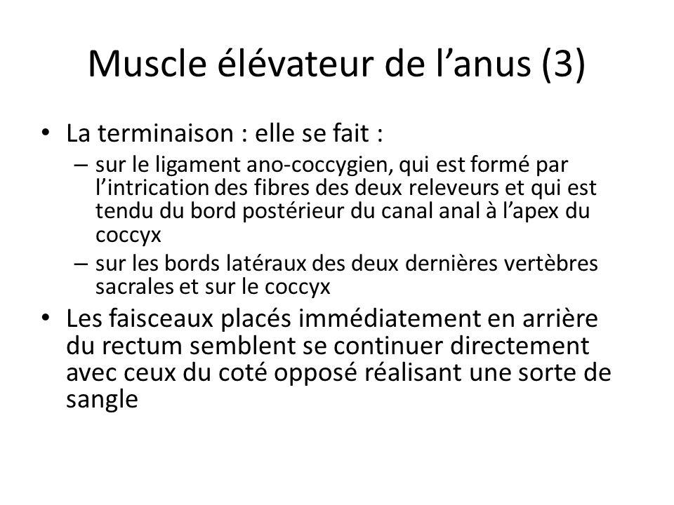 Muscle élévateur de lanus (3) La terminaison : elle se fait : – sur le ligament ano-coccygien, qui est formé par lintrication des fibres des deux releveurs et qui est tendu du bord postérieur du canal anal à lapex du coccyx – sur les bords latéraux des deux dernières vertèbres sacrales et sur le coccyx Les faisceaux placés immédiatement en arrière du rectum semblent se continuer directement avec ceux du coté opposé réalisant une sorte de sangle