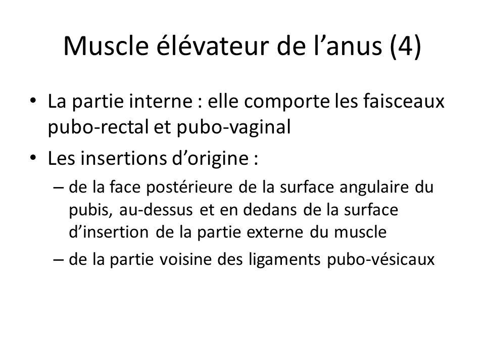 Muscle élévateur de lanus (4) La partie interne : elle comporte les faisceaux pubo-rectal et pubo-vaginal Les insertions dorigine : – de la face postérieure de la surface angulaire du pubis, au-dessus et en dedans de la surface dinsertion de la partie externe du muscle – de la partie voisine des ligaments pubo-vésicaux