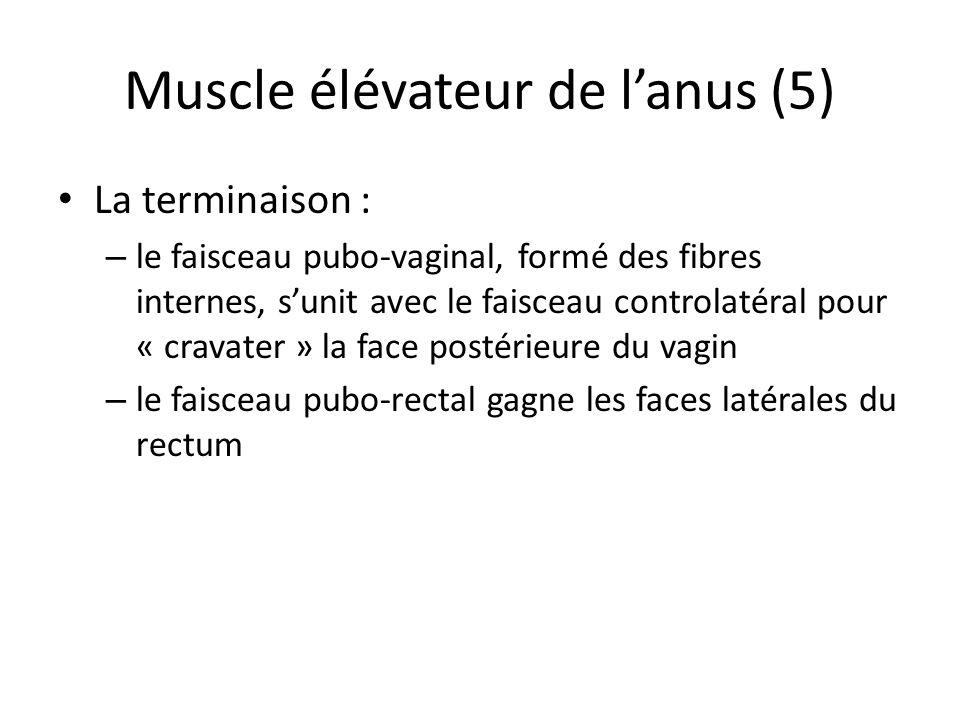 Muscle élévateur de lanus (5) La terminaison : – le faisceau pubo-vaginal, formé des fibres internes, sunit avec le faisceau controlatéral pour « cravater » la face postérieure du vagin – le faisceau pubo-rectal gagne les faces latérales du rectum
