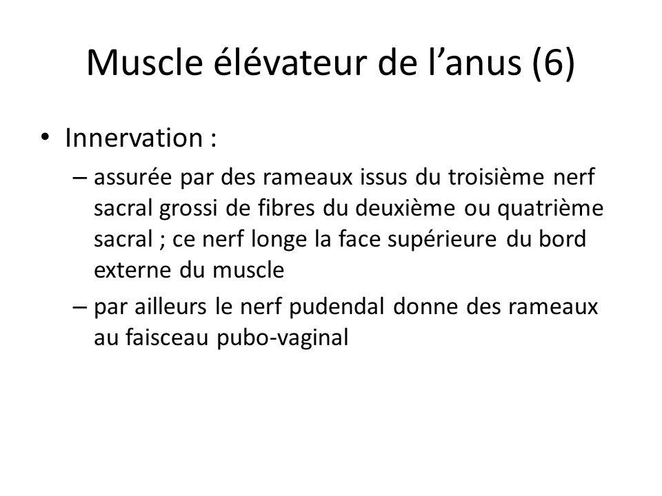 Muscle élévateur de lanus (6) Innervation : – assurée par des rameaux issus du troisième nerf sacral grossi de fibres du deuxième ou quatrième sacral ; ce nerf longe la face supérieure du bord externe du muscle – par ailleurs le nerf pudendal donne des rameaux au faisceau pubo-vaginal