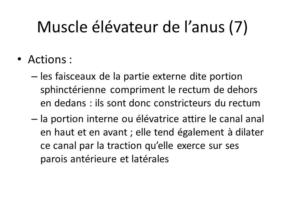 Muscle élévateur de lanus (7) Actions : – les faisceaux de la partie externe dite portion sphinctérienne compriment le rectum de dehors en dedans : ils sont donc constricteurs du rectum – la portion interne ou élévatrice attire le canal anal en haut et en avant ; elle tend également à dilater ce canal par la traction quelle exerce sur ses parois antérieure et latérales