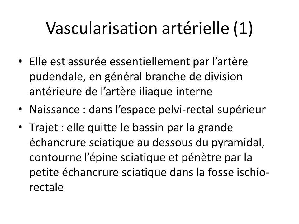 Vascularisation artérielle (1) Elle est assurée essentiellement par lartère pudendale, en général branche de division antérieure de lartère iliaque interne Naissance : dans lespace pelvi-rectal supérieur Trajet : elle quitte le bassin par la grande échancrure sciatique au dessous du pyramidal, contourne lépine sciatique et pénètre par la petite échancrure sciatique dans la fosse ischio- rectale
