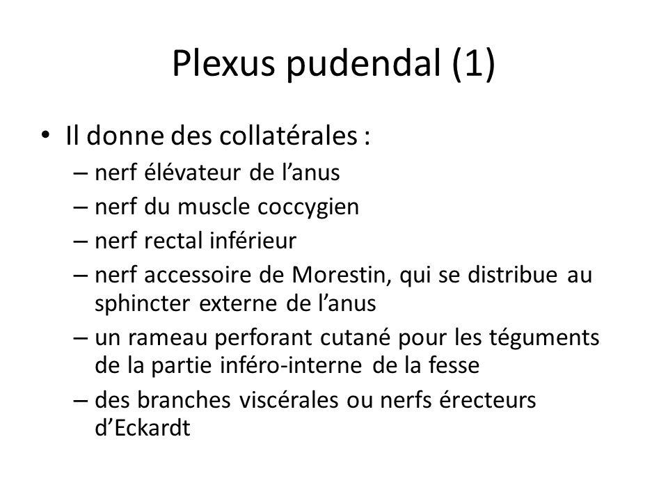 Plexus pudendal (1) Il donne des collatérales : – nerf élévateur de lanus – nerf du muscle coccygien – nerf rectal inférieur – nerf accessoire de Morestin, qui se distribue au sphincter externe de lanus – un rameau perforant cutané pour les téguments de la partie inféro-interne de la fesse – des branches viscérales ou nerfs érecteurs dEckardt