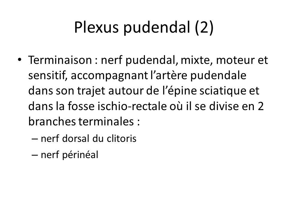 Plexus pudendal (2) Terminaison : nerf pudendal, mixte, moteur et sensitif, accompagnant lartère pudendale dans son trajet autour de lépine sciatique et dans la fosse ischio-rectale où il se divise en 2 branches terminales : – nerf dorsal du clitoris – nerf périnéal
