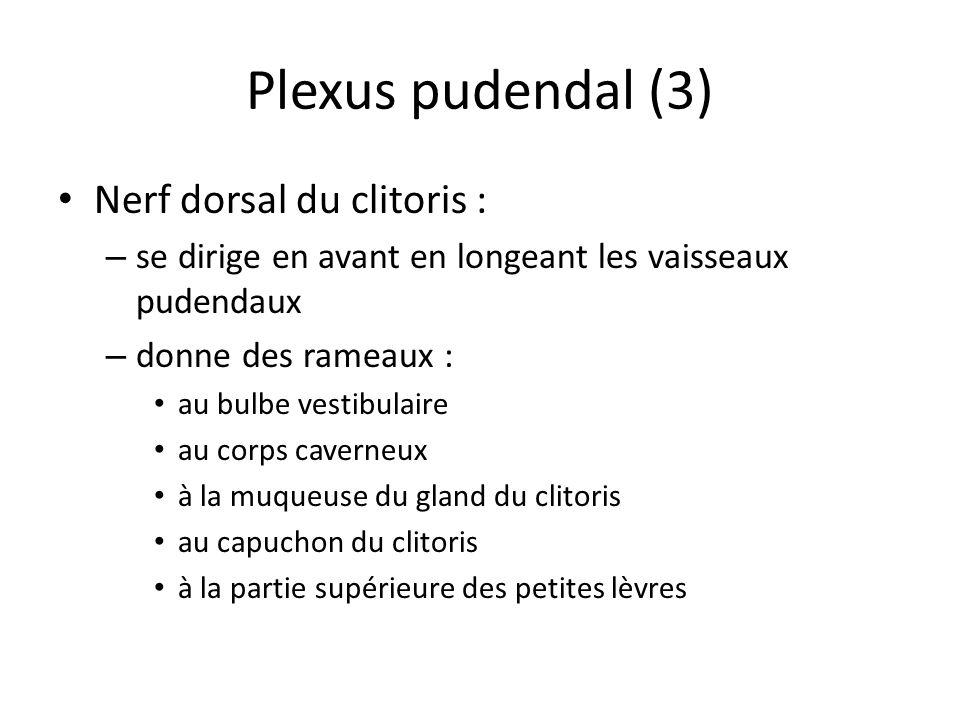 Plexus pudendal (3) Nerf dorsal du clitoris : – se dirige en avant en longeant les vaisseaux pudendaux – donne des rameaux : au bulbe vestibulaire au corps caverneux à la muqueuse du gland du clitoris au capuchon du clitoris à la partie supérieure des petites lèvres