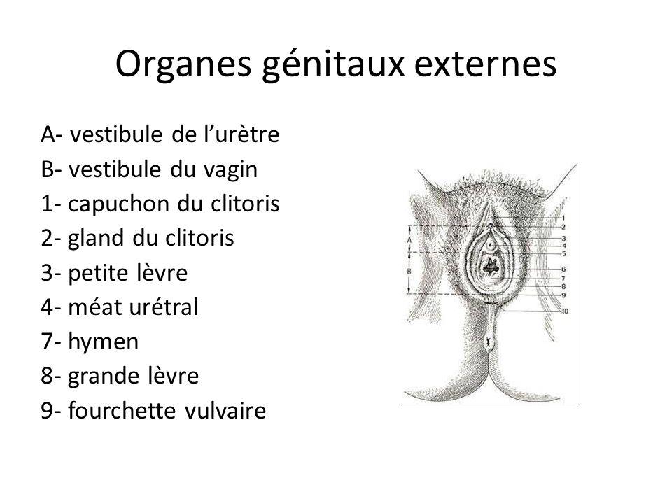 Organes génitaux externes A- vestibule de lurètre B- vestibule du vagin 1- capuchon du clitoris 2- gland du clitoris 3- petite lèvre 4- méat urétral 7- hymen 8- grande lèvre 9- fourchette vulvaire