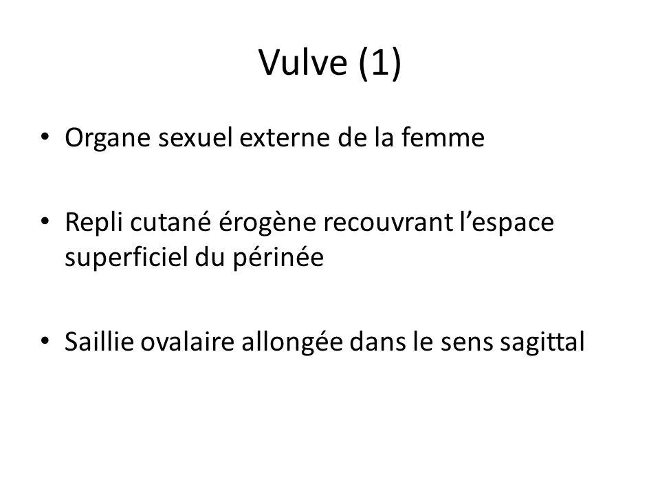 Vulve (1) Organe sexuel externe de la femme Repli cutané érogène recouvrant lespace superficiel du périnée Saillie ovalaire allongée dans le sens sagi