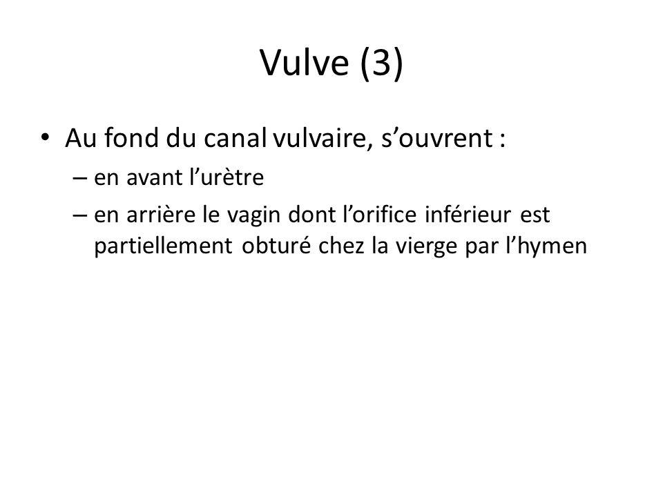 Vulve (3) Au fond du canal vulvaire, souvrent : – en avant lurètre – en arrière le vagin dont lorifice inférieur est partiellement obturé chez la vier