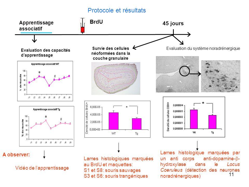 11 Protocole et résultats BrdU 45 jours Survie des cellules néoformées dans la couche granulaire Evaluation des capacités dapprentissage Apprentissage