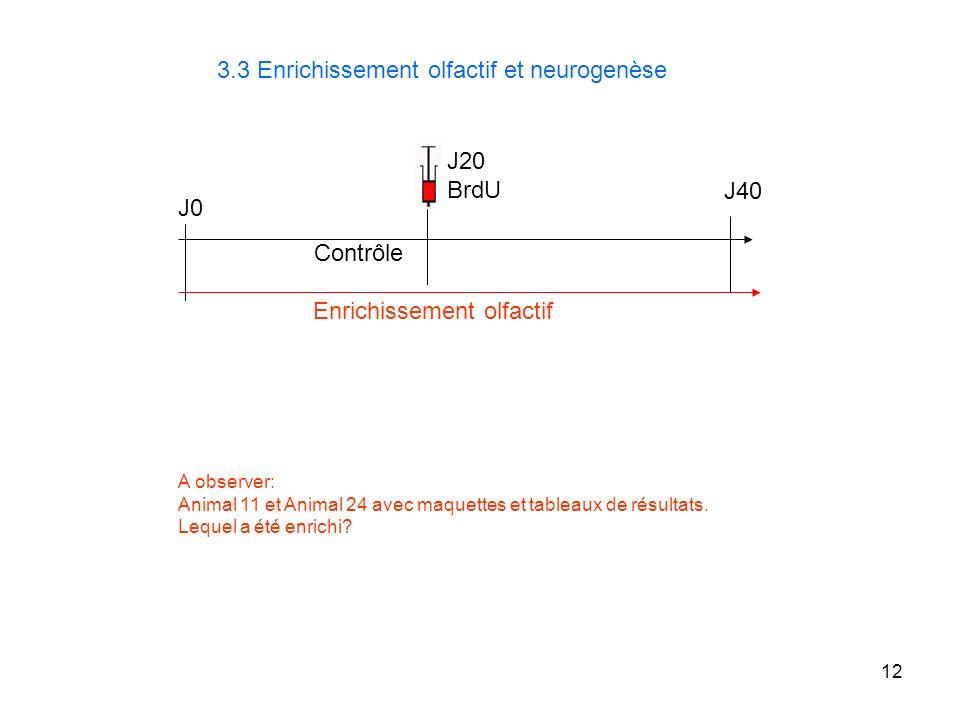 12 3.3 Enrichissement olfactif et neurogenèse J0 J40 Enrichissement olfactif J20 BrdU A observer: Animal 11 et Animal 24 avec maquettes et tableaux de