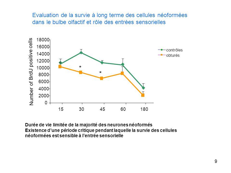 9 Evaluation de la survie à long terme des cellules néoformées dans le bulbe olfactif et rôle des entrées sensorielles Durée de vie limitée de la majo