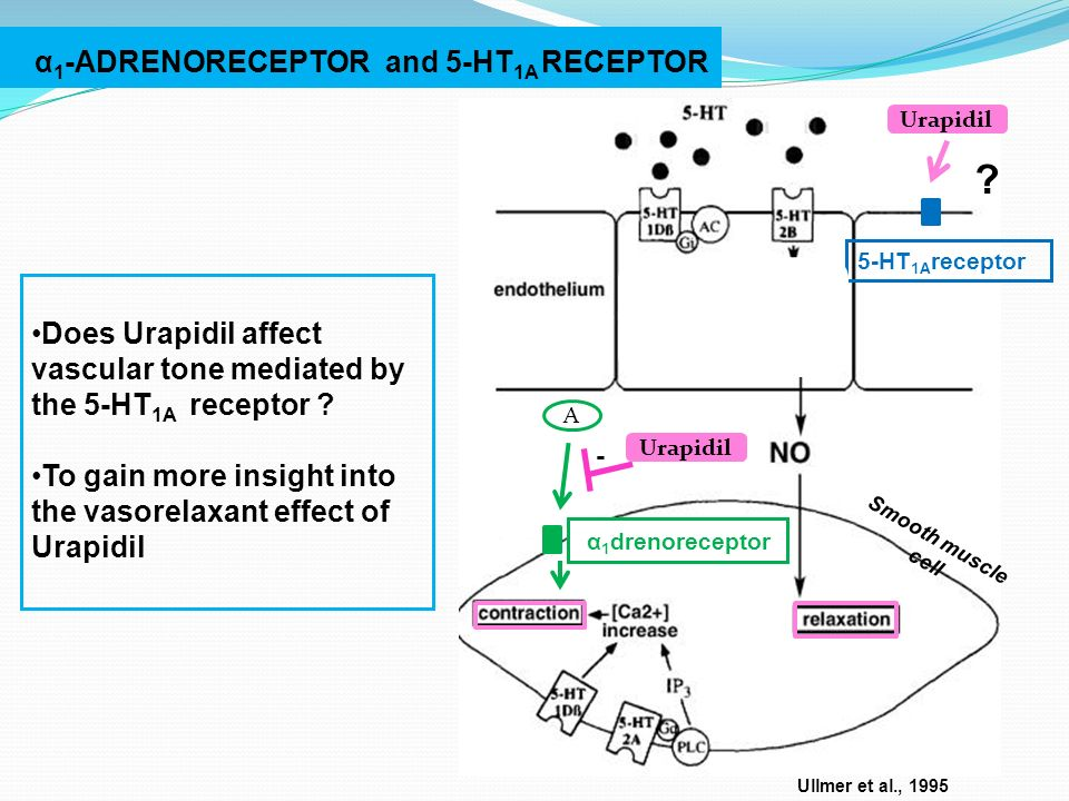 Ullmer et al., 1995 α 1 -ADRENORECEPTOR and 5-HT 1A RECEPTOR Smooth muscle cell A - Urapidil Does Urapidil affect vascular tone mediated by the 5-HT 1A receptor .