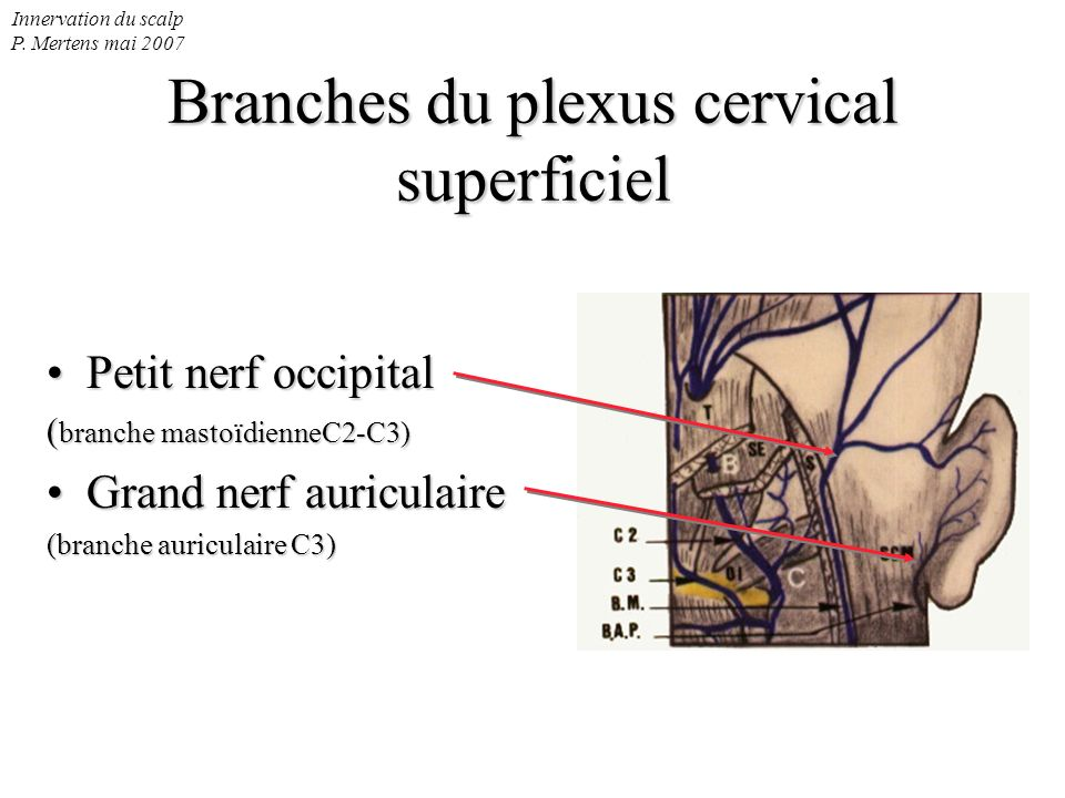 Innervation du scalp P. Mertens mai 2007 Branches du plexus cervical superficiel Petit nerf occipitalPetit nerf occipital ( branche mastoïdienneC2-C3)