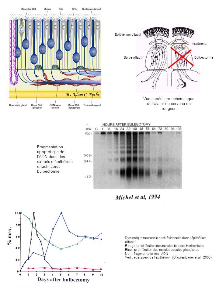 5P3OH TdT U-Biot – U-Biot - … - U-Biot 3OH 5P ADN génomique Fragmentation de lADN (x180 pdb) 3OH TUNEL Apoptose et TUNEL dans lépithélium olfactif Reconnaissance spécifique de la terminal-d- transférase et élongation de lextrémité 3-OH dUTP - Biot Révélation Bcl2 Axo, BoX Apoptose