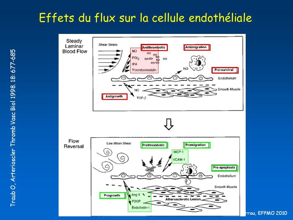 B Barrou, EFPMO 2010 Effets du flux sur la cellule endothéliale Traub O, Arterioscler Thromb Vasc Biol 1998. 18: 677-685