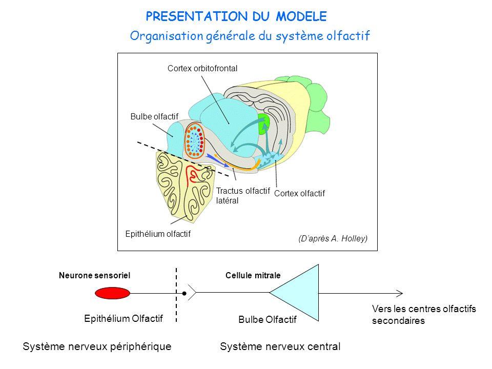 Organisation générale du système olfactif Neurone sensorielCellule mitrale Epithélium Olfactif Bulbe Olfactif Système nerveux périphériqueSystème nerv