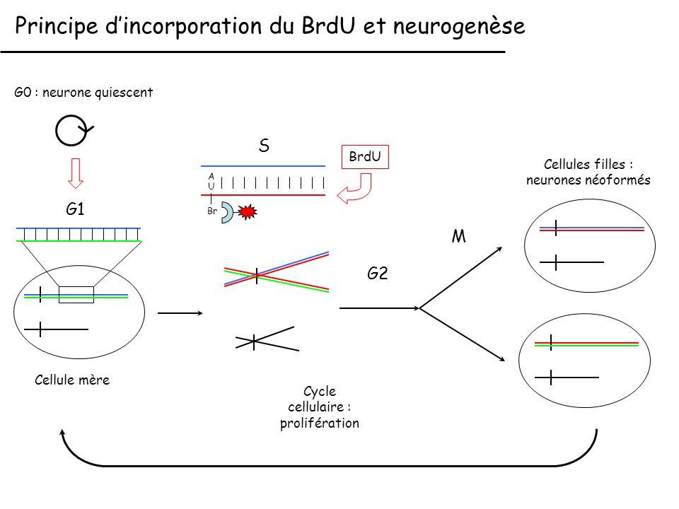 M G1 S BrdU Principe dincorporation du BrdU et neurogenèse U Br A Cellule mère G2 Cellules filles : neurones néoformés G0 : neurone quiescent Cycle ce
