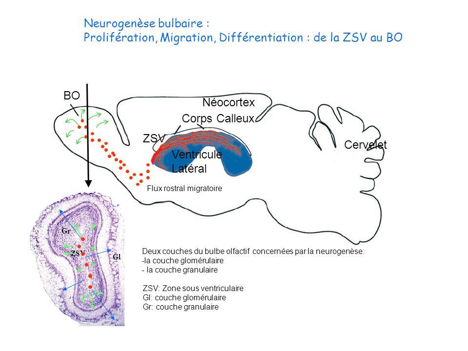 Neurogenèse bulbaire : Prolifération, Migration, Différentiation : de la ZSV au BO Corps Calleux Néocortex Cervelet BO Ventricule Latéral Flux rostral