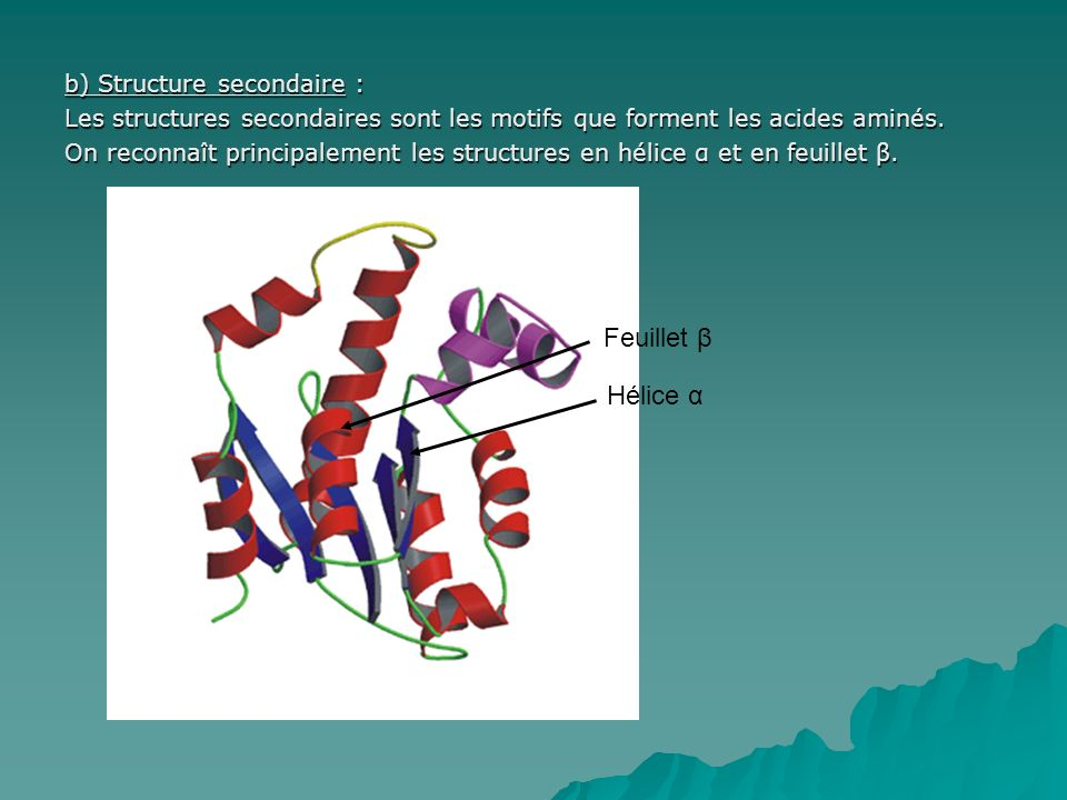 b) Structure secondaire : Les structures secondaires sont les motifs que forment les acides aminés. On reconnaît principalement les structures en héli
