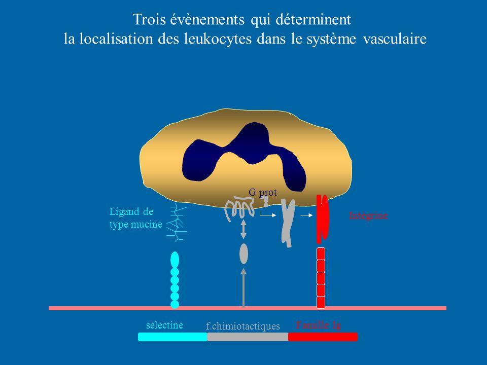 Trois évènements qui déterminent la localisation des leukocytes dans le système vasculaire G prot Ligand de type mucine Intégrine selectine f.chimiota