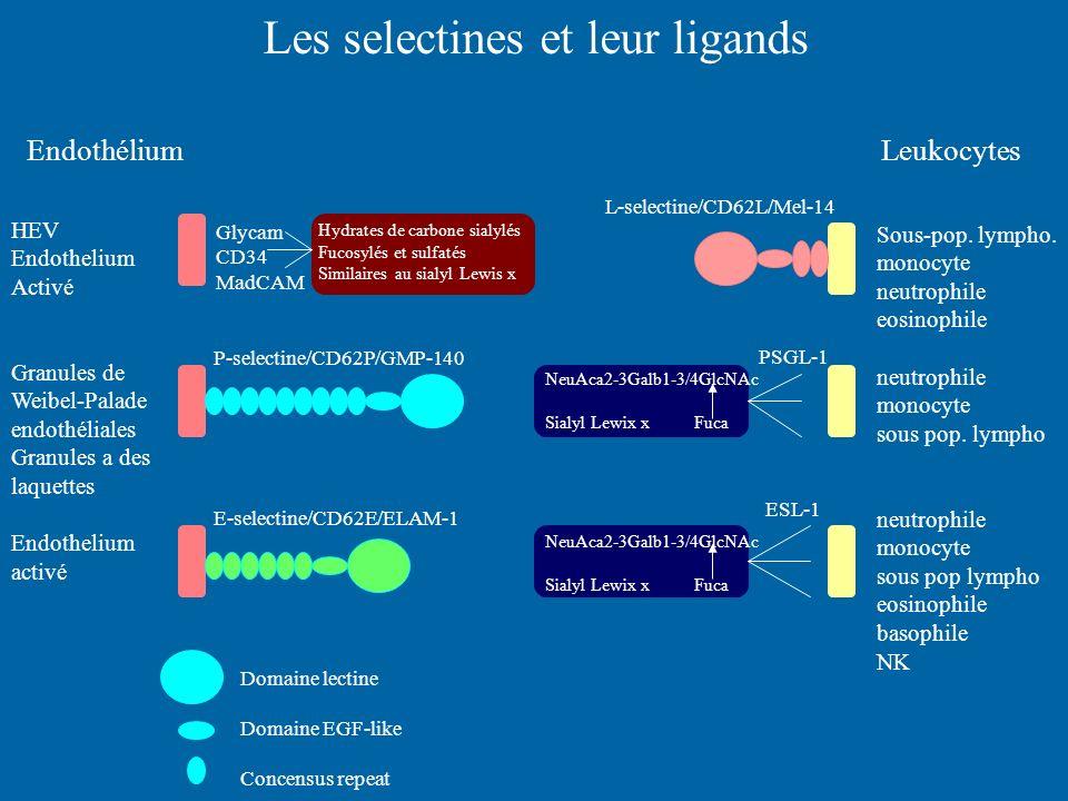 Les selectines et leur ligands HEV Endothelium Activé Granules de Weibel-Palade endothéliales Granules a des laquettes Endothelium activé Sous-pop. ly