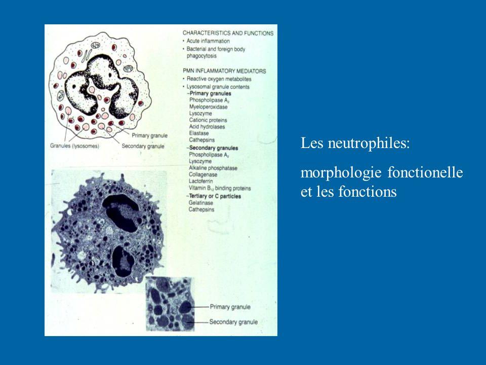 Les neutrophiles: morphologie fonctionelle et les fonctions