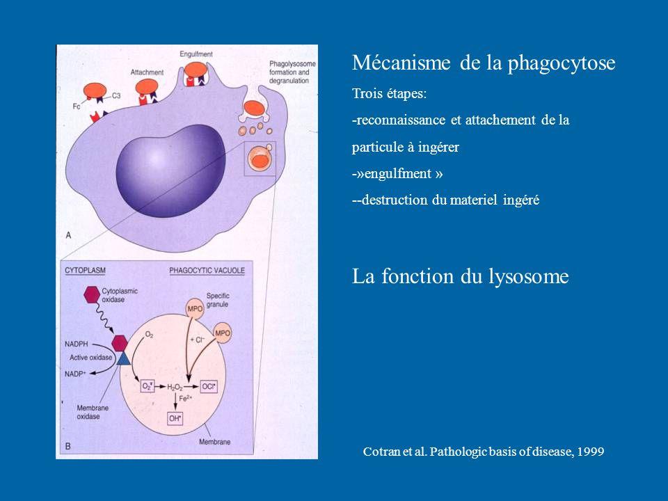 Mécanisme de la phagocytose Trois étapes: -reconnaissance et attachement de la particule à ingérer -»engulfment » --destruction du materiel ingéré La