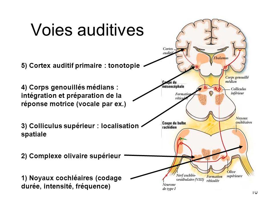 10 Voies auditives 1) Noyaux cochléaires (codage durée, intensité, fréquence) 2) Complexe olivaire supérieur 3) Colliculus supérieur : localisation sp