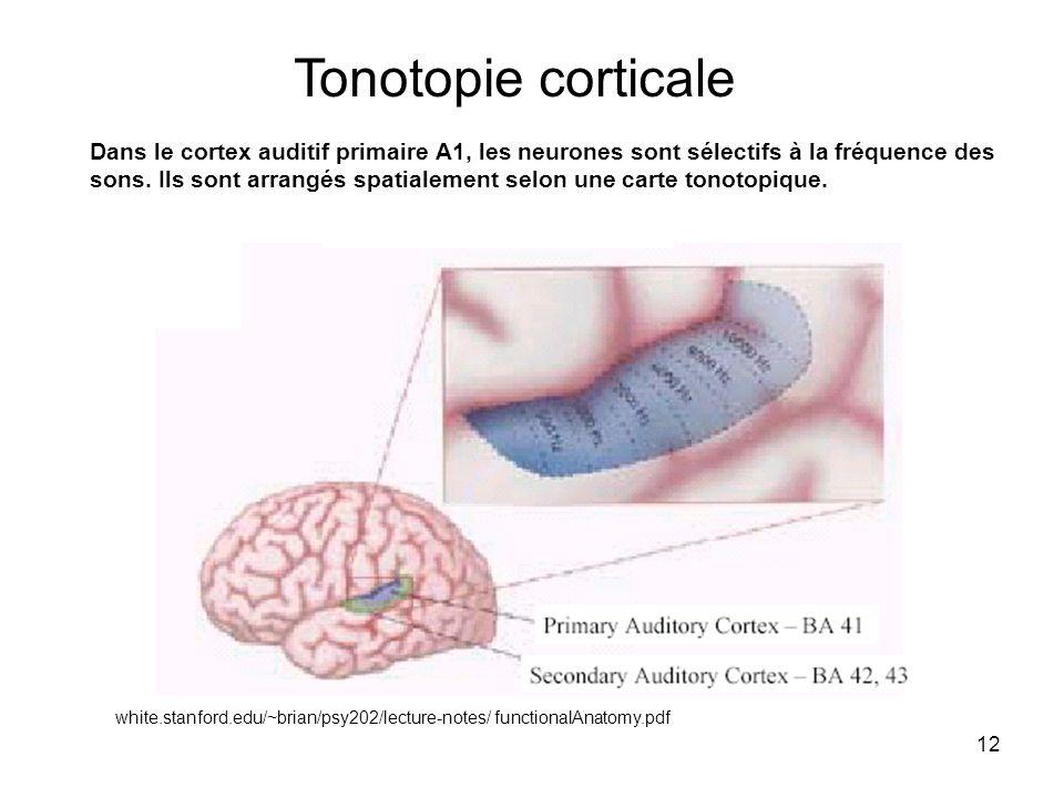 12 white.stanford.edu/~brian/psy202/lecture-notes/ functionalAnatomy.pdf Tonotopie corticale Dans le cortex auditif primaire A1, les neurones sont sél