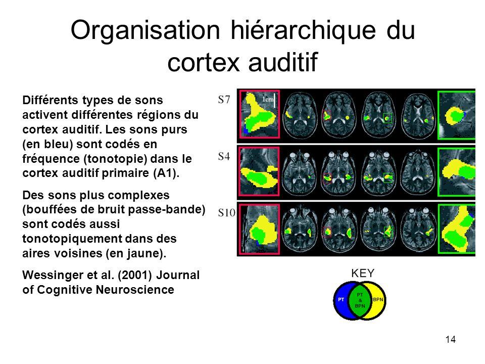 14 Organisation hiérarchique du cortex auditif Différents types de sons activent différentes régions du cortex auditif. Les sons purs (en bleu) sont c