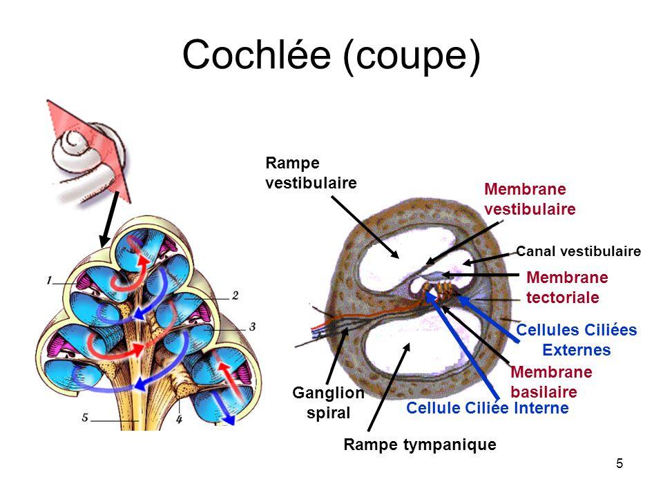 5 Cochlée (coupe) Membrane vestibulaire Canal vestibulaire Membrane tectoriale Rampe vestibulaire Ganglion spiral Cellule Ciliée Interne Cellules Cili