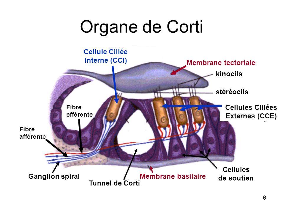 6 Organe de Corti Membrane tectoriale Membrane basilaire Cellule Ciliée Interne (CCI) Cellules Ciliées Externes (CCE) Ganglion spiral Cellules de sout