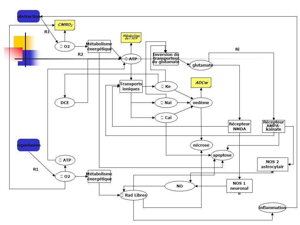 obstruction O2 Métabolisme énergétique ATP glutamate Inversion du transporteur du glutamate Transports ioniques Ke CMRO 2 Métabolites de l ATP Nai Cai