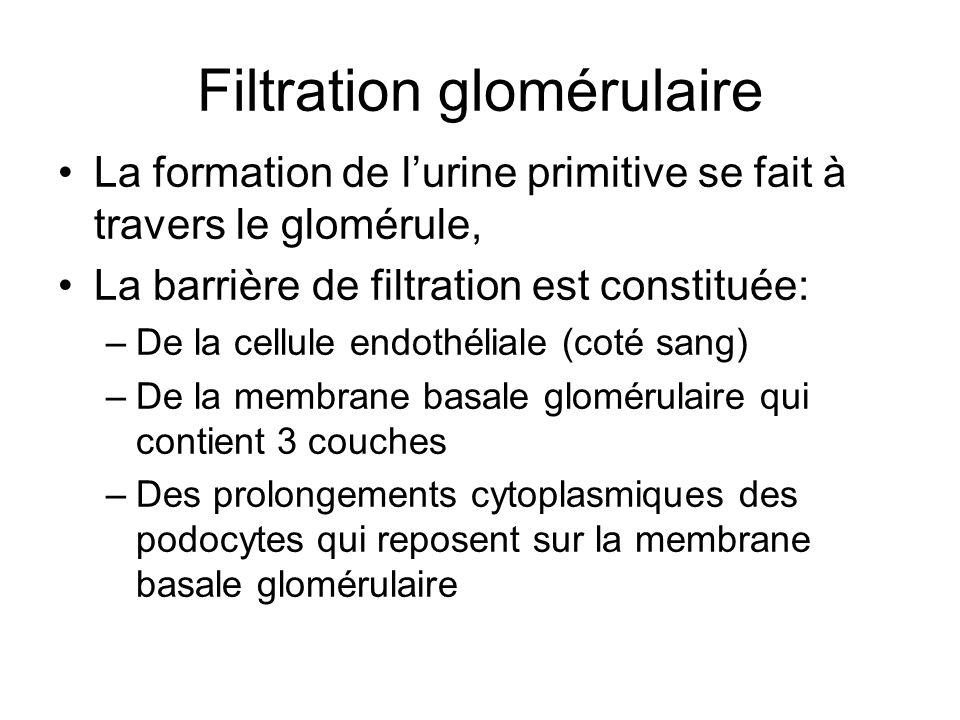 Filtration glomérulaire La formation de lurine primitive se fait à travers le glomérule, La barrière de filtration est constituée: –De la cellule endo