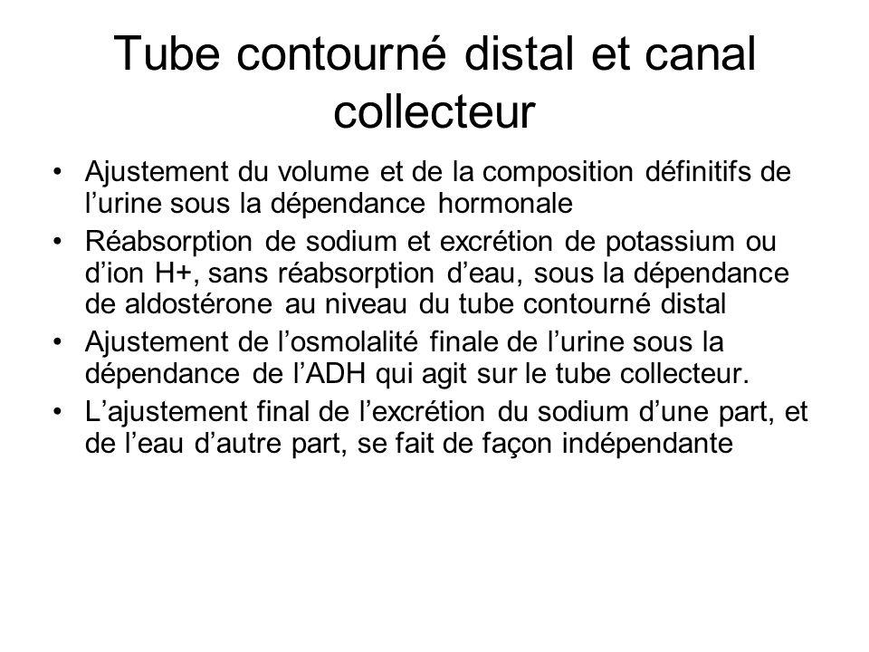 Tube contourné distal et canal collecteur Ajustement du volume et de la composition définitifs de lurine sous la dépendance hormonale Réabsorption de