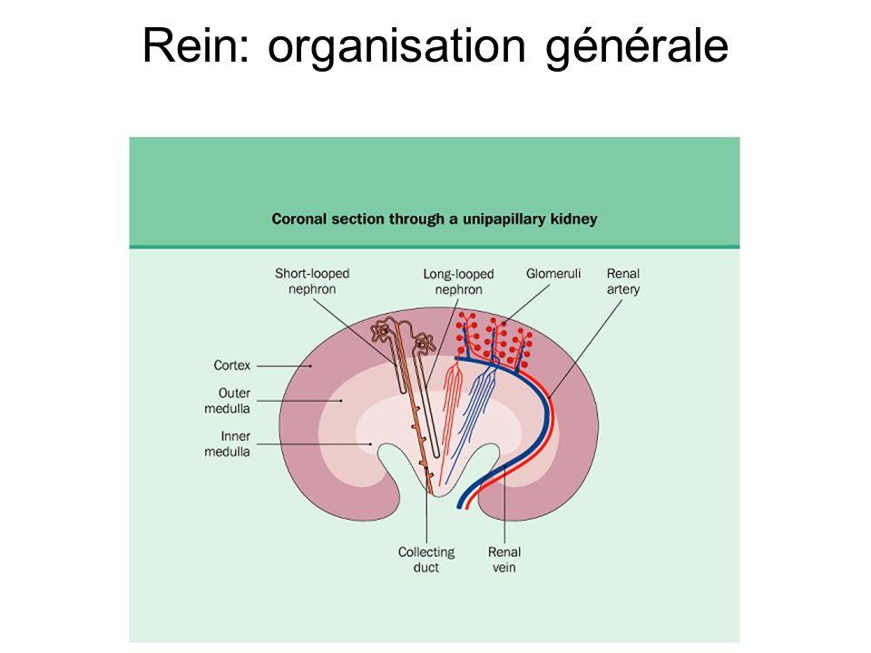 Rein: organisation générale