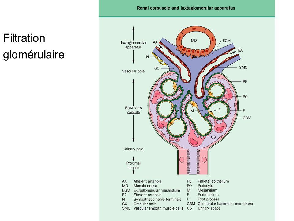 Augmentation des volumes extracellulaires Prise de poids Oedèmes prenant le godet, membres inf, lombes chez les patients en décubitus, paupière, bilatéraux, symétriques Parfois HTA Dyspnée, œdème pulmonaire œdème des séreuses, plèvre, péritoine, péricarde, anasarque Augmentation de liquide dans le secteur extracellulaire Correspond à une balance hydro-sodée positive liée à une rétention trop importante de NaCl et/ou à altération de lhémodynamique capillaire (pression oncotique, pression hydrostatique, altération de la perméabilité capillaire