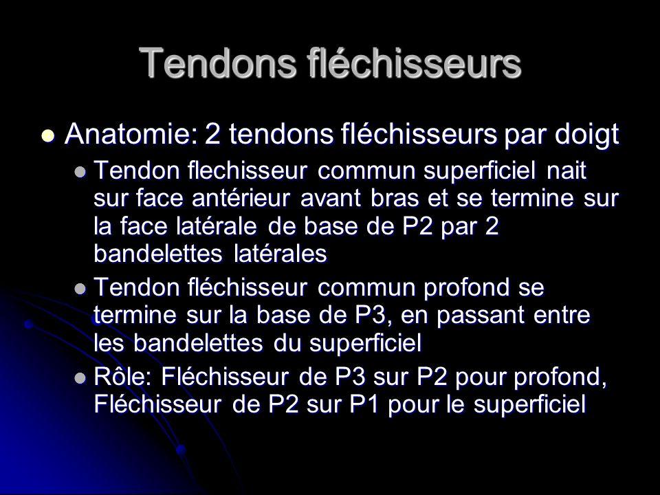 Tendons fléchisseurs Anatomie: 2 tendons fléchisseurs par doigt Anatomie: 2 tendons fléchisseurs par doigt Tendon flechisseur commun superficiel nait