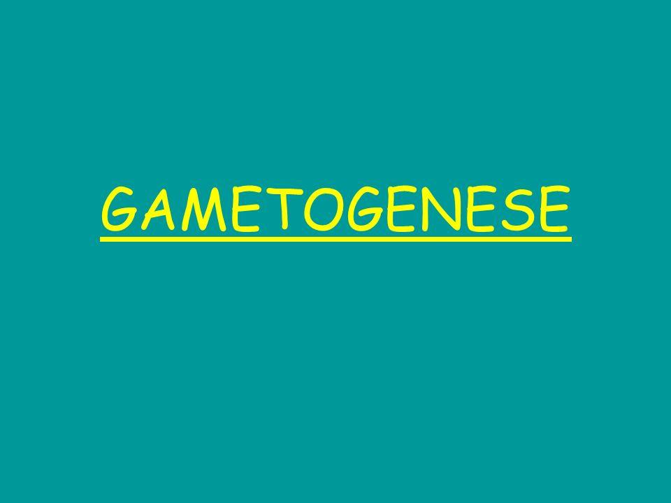 Cest le développement des gamètes au cours de la vie : Spermatogenèse spermatozoïdes Ovogenèse ovocytes Elle permet le passage de cellules diploïdes à des cellules haploïdes.