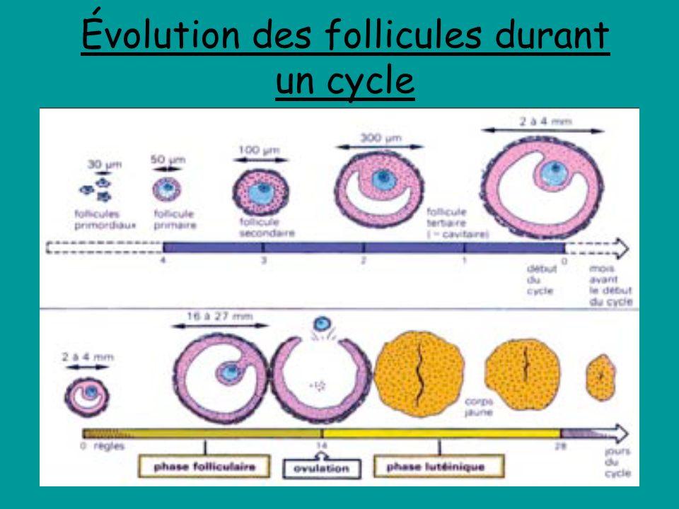 Évolution des follicules durant un cycle