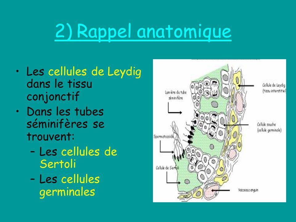 2) Rappel anatomique Les cellules de Leydig dans le tissu conjonctif Dans les tubes séminifères se trouvent: –Les cellules de Sertoli –Les cellules ge