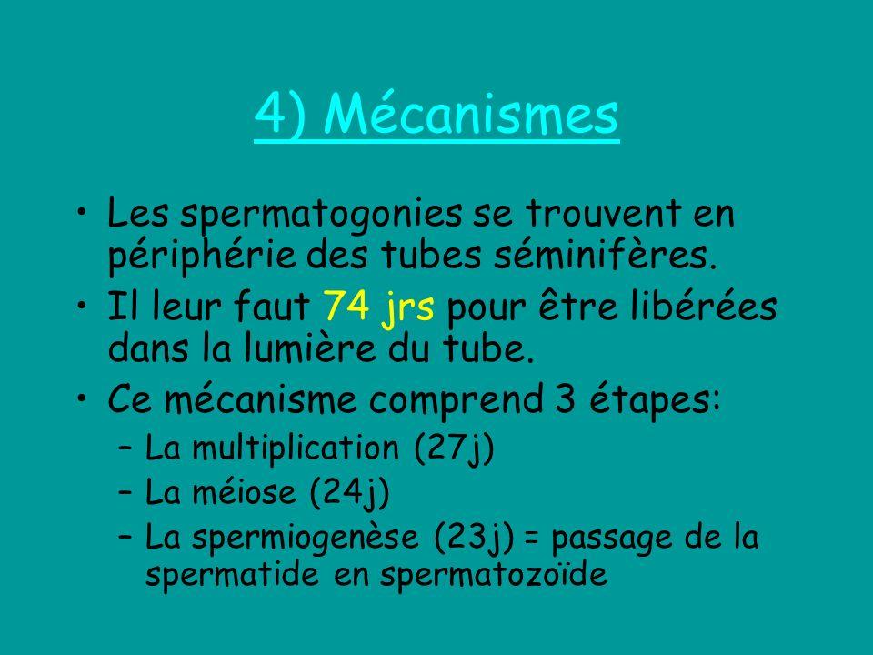 4) Mécanismes Les spermatogonies se trouvent en périphérie des tubes séminifères. Il leur faut 74 jrs pour être libérées dans la lumière du tube. Ce m