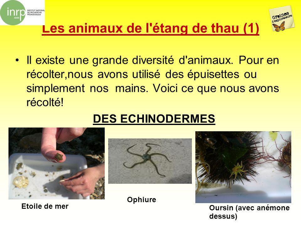 Les animaux de l'étang de thau (1) Il existe une grande diversité d'animaux. Pour en récolter,nous avons utilisé des épuisettes ou simplement nos main