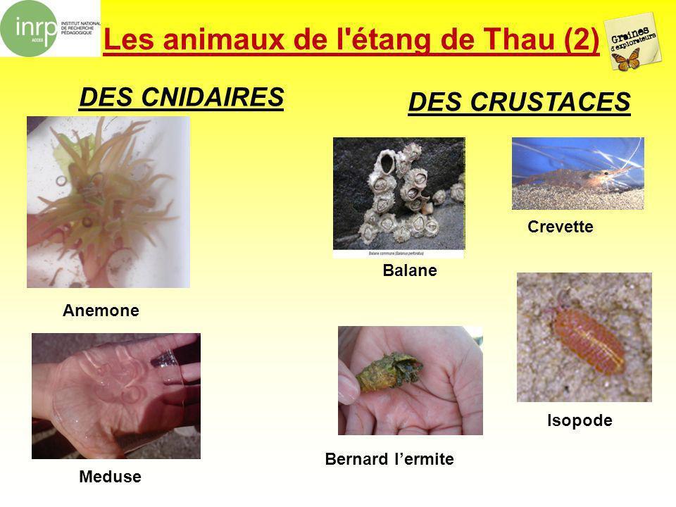 Les animaux de l'étang de Thau (2) DES CNIDAIRES DES CRUSTACES Anemone Balane Isopode Crevette Meduse Bernard lermite
