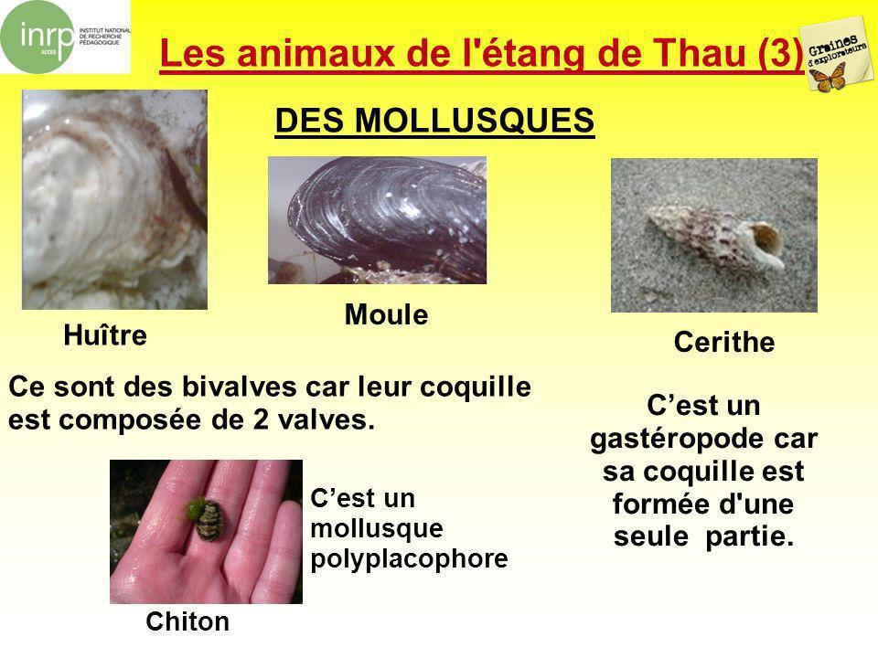 Les animaux de l'étang de Thau (3) DES MOLLUSQUES Ce sont des bivalves car leur coquille est composée de 2 valves. Cest un gastéropode car sa coquille