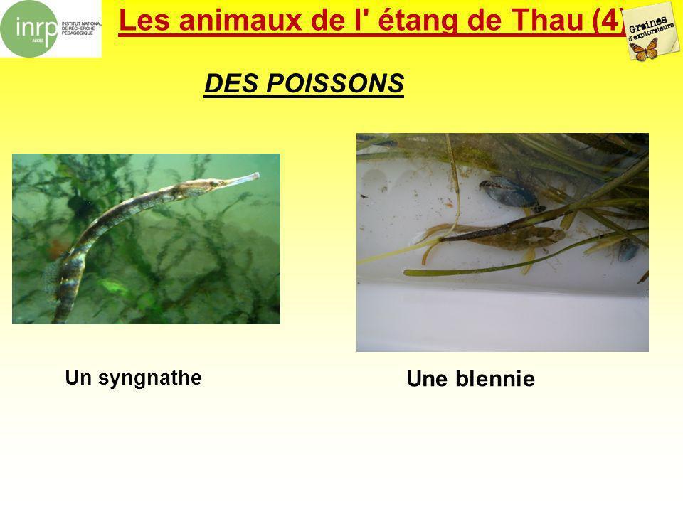 Les animaux de l' étang de Thau (4) DES POISSONS Un syngnathe Une blennie