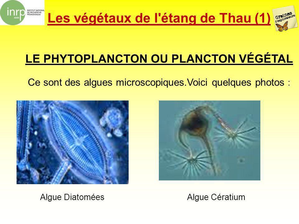 Les végétaux de l'étang de Thau (1) LE PHYTOPLANCTON OU PLANCTON VÉGÉTAL Ce sont des algues microscopiques.Voici quelques photos : Algue DiatoméesAlgu